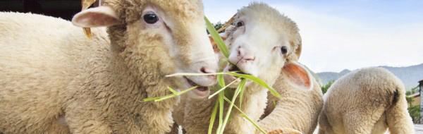 Eigenschaften der Alm-Wolle